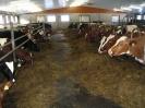 Lehmät ja nuorkarja syömässä säilörehua