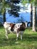 Tisu-lehmä